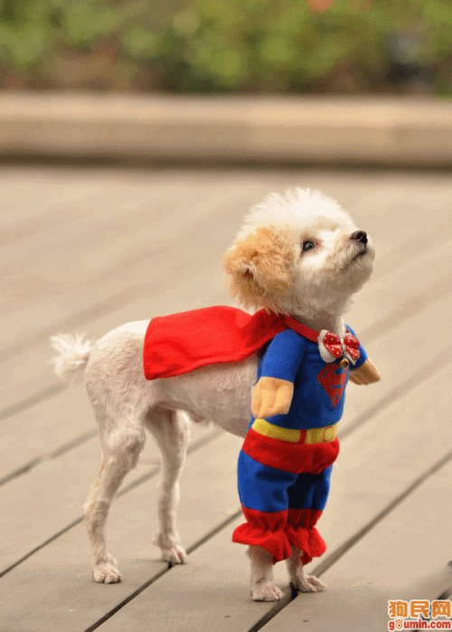 Dog-superman Halloween Costumes