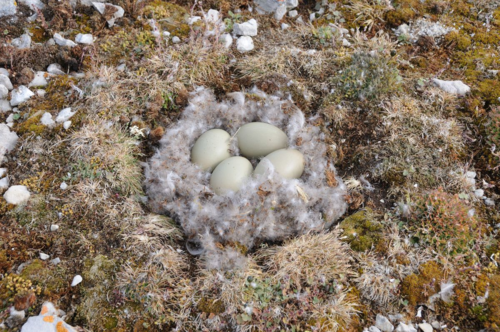 Common eider eggs8